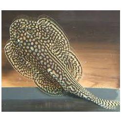SEWELLIA LINEOLATA 3-4 cm