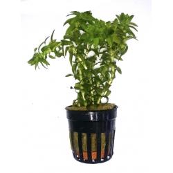 Tonina fluviatalis