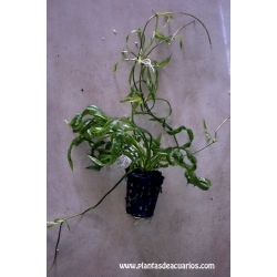 Echinodorus tortifolia