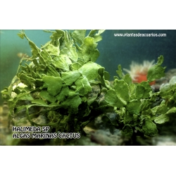 Halimeda, alga cactus