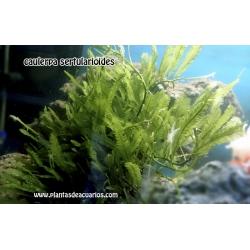 Caulerpa sertulariroides