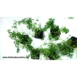 Ranunculus inundatus 2,50€/unid