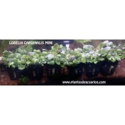 Lobelia cardinalis mini 2,50€/unid