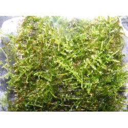 Taxiphyllum spec Spicky/ Spiky moss