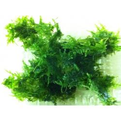 Vesicularia montagnei/Christmas moss