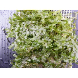 Pellia/Monosolenium tenerum Tarrina