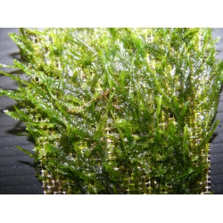 Vesicularia spec Anchor/ Anchor moss