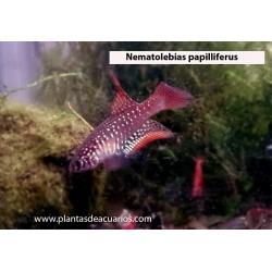 Nematolebias papilliferus (pareja)