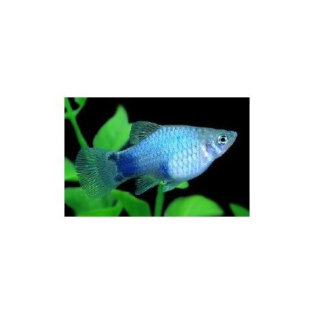 Platy azul