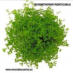 Micranthemum Monte Carlo