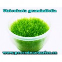 Utricularia graminifolia tarrina