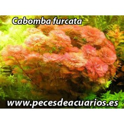 Cabomba furcata red