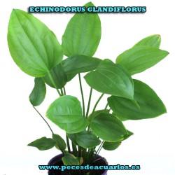 Echinodorus glandiflorus