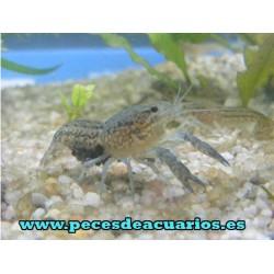Cangrejo cherax troglodytes 5 cm