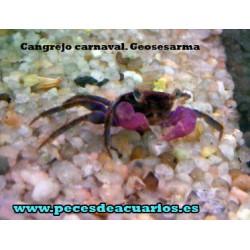 Cangrejo carnaval. Geosesarma sp.