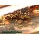 Ancistrus negro LEOPARDO 3 cm