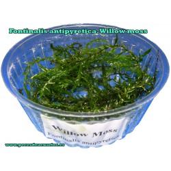 Fontinalis antipyretica willow gigantea TARRINA