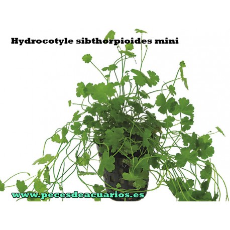 Hydrocotyle sibthorpioides mini