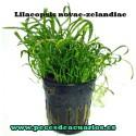 Lilaeopsis novae-zelandiae