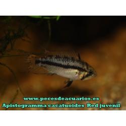 Apistogramma cacatuoides juvenil 2,5 cm