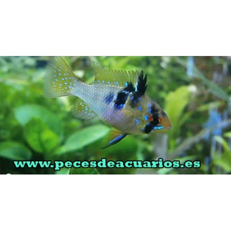 Papiliochromis ramirezi juvenil 2,5 cm