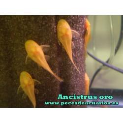 Ancistrus oro juvenil 2 cm
