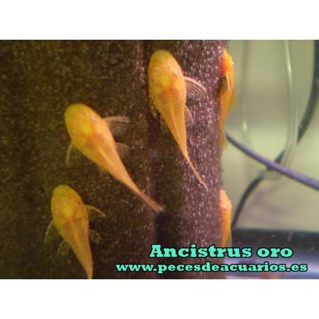 Ancistrus oro 2 cm