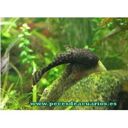 Ancistrus sp. negro juvenil 2,5 cm