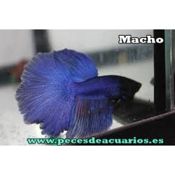 Betta halfmoon azul macho