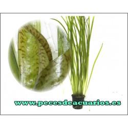 "Vallisneria spiralis ""Marmol"""