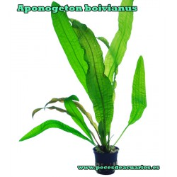 Aponogeton boivianus