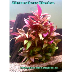 Alternathera lilacina