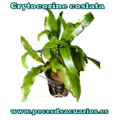 Crytocorine coslata