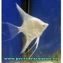 Escalar daltum albino 4cm