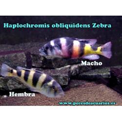 Haplochromis obliquidens Zebra