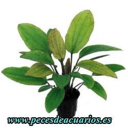 Echinodorus rose