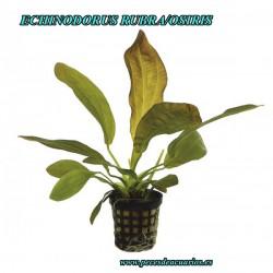 Echinodorus rubra/osiris