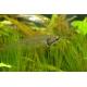Pez gato de cristal (Kryptopterus minor)