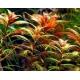Proserpinaca palustris GREEN