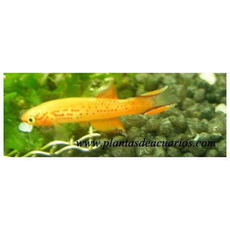 Aphyosemion australe (pareja)