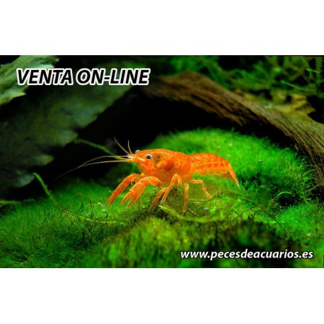 Cambarellus patzcuarensis mini
