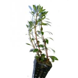 Ludwigia verticillata inclinata