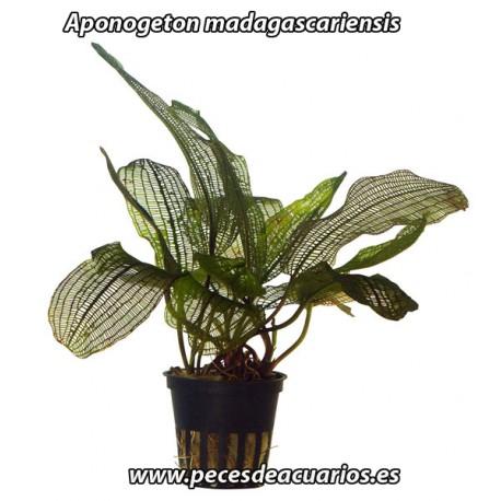 Aponogeton madagascariensis