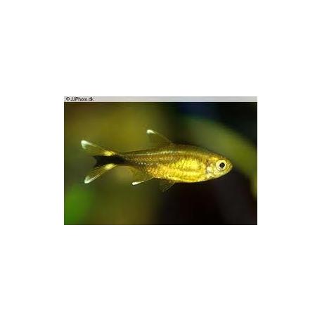 HASEMANIA NANA 2,5 cm