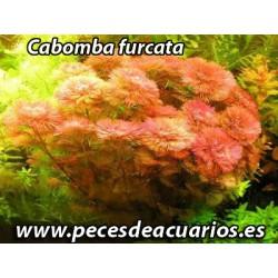 Cabomba piauhyensis red