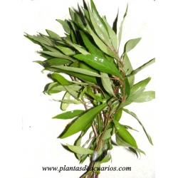 "Hygrophila corimbosa ""angustifolia"""