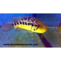 Parachromis managuensis