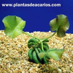 Nymphoides aquatica (Banana acuática)