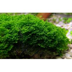 Riccardia sp chamedryfolia (mini pellia)