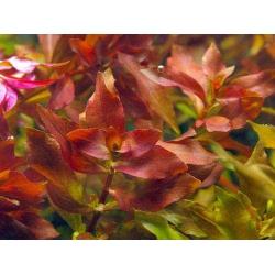 ludwigia palustris red sumergida